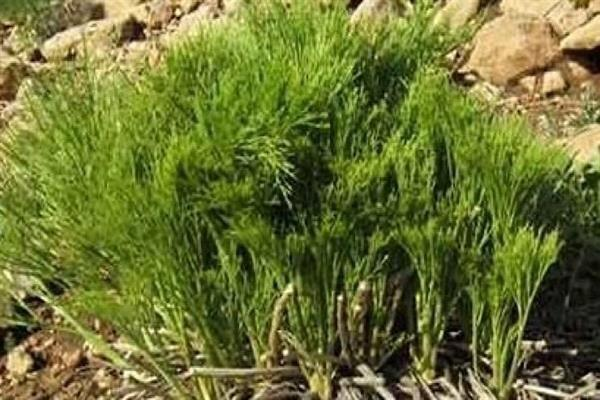حذف ترکیبات نفتی از خاکهای آلوده با یاری گیاهان بومی